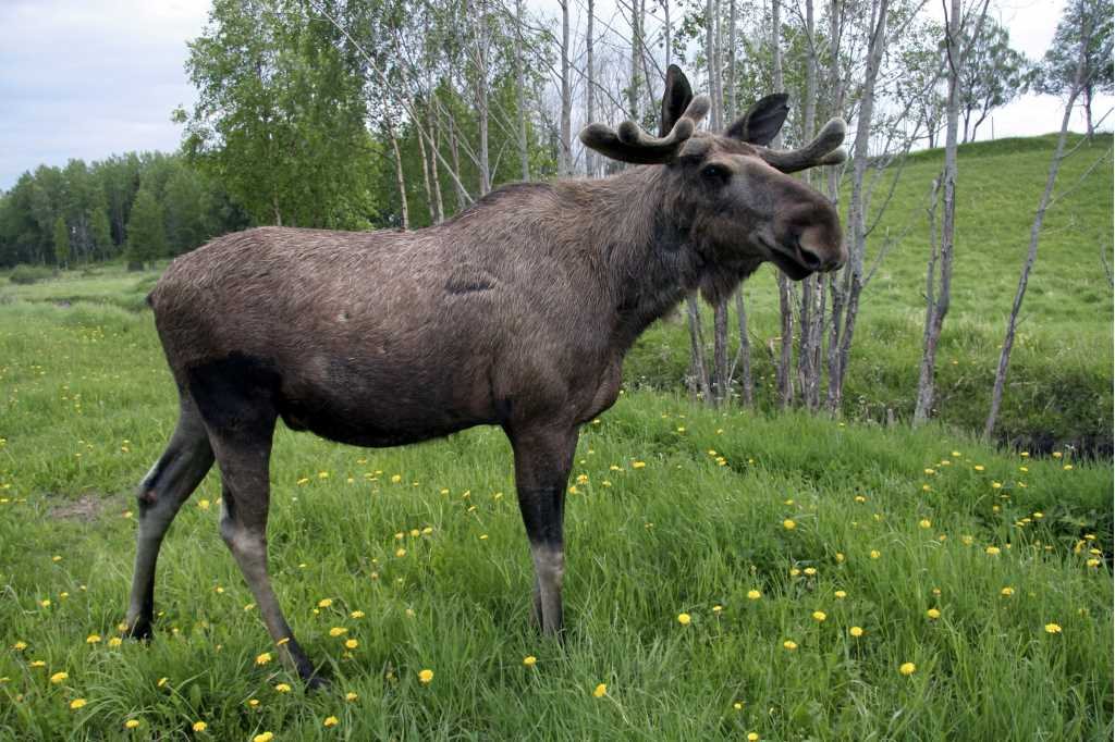 A moose is standing in a green field with yellow flowers