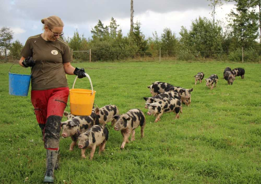 A young female farmer is walking over a field followed by a neat row of piglets