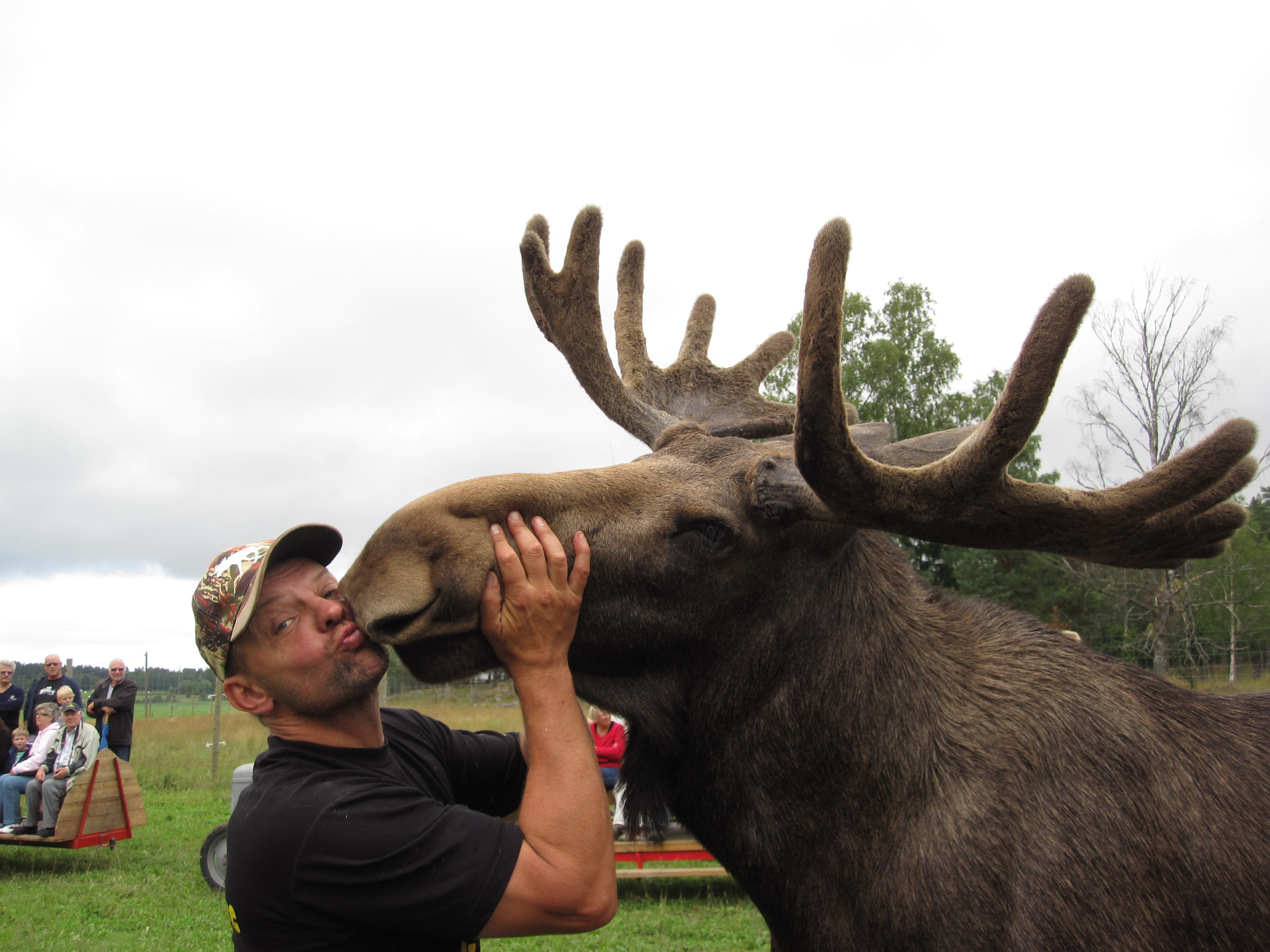A man is kissing a moose with big antlers