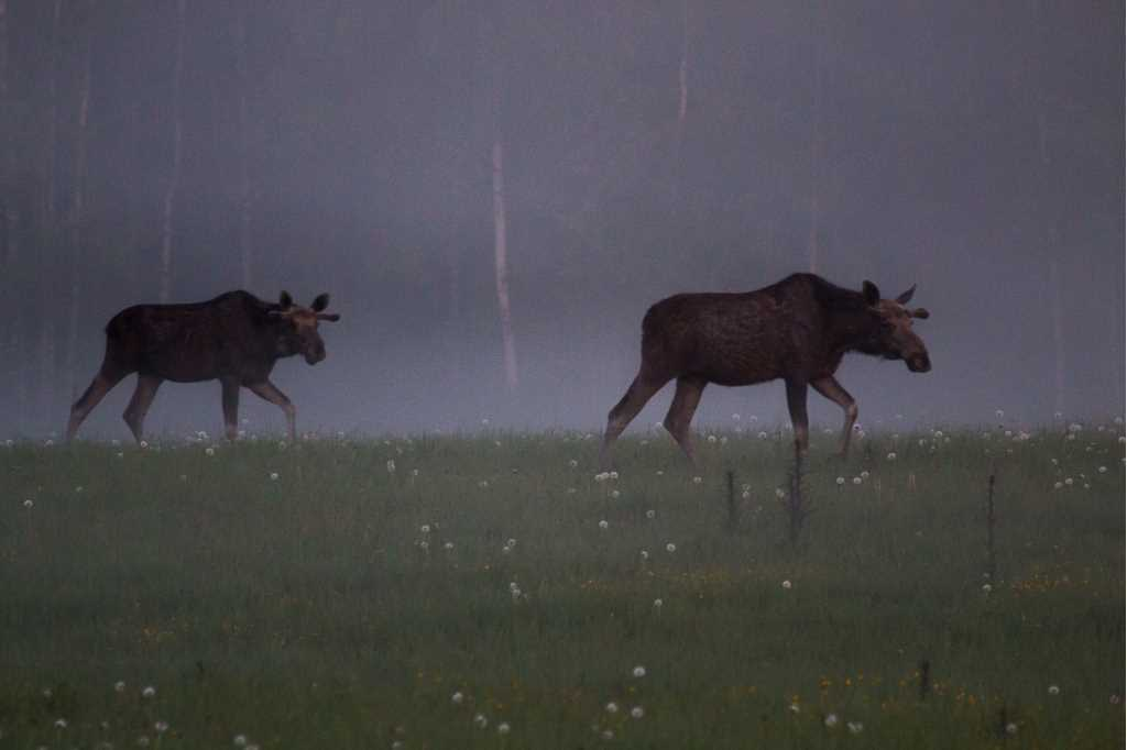 Two moose walk over a field at dusk. A deep forest is seen in the background
