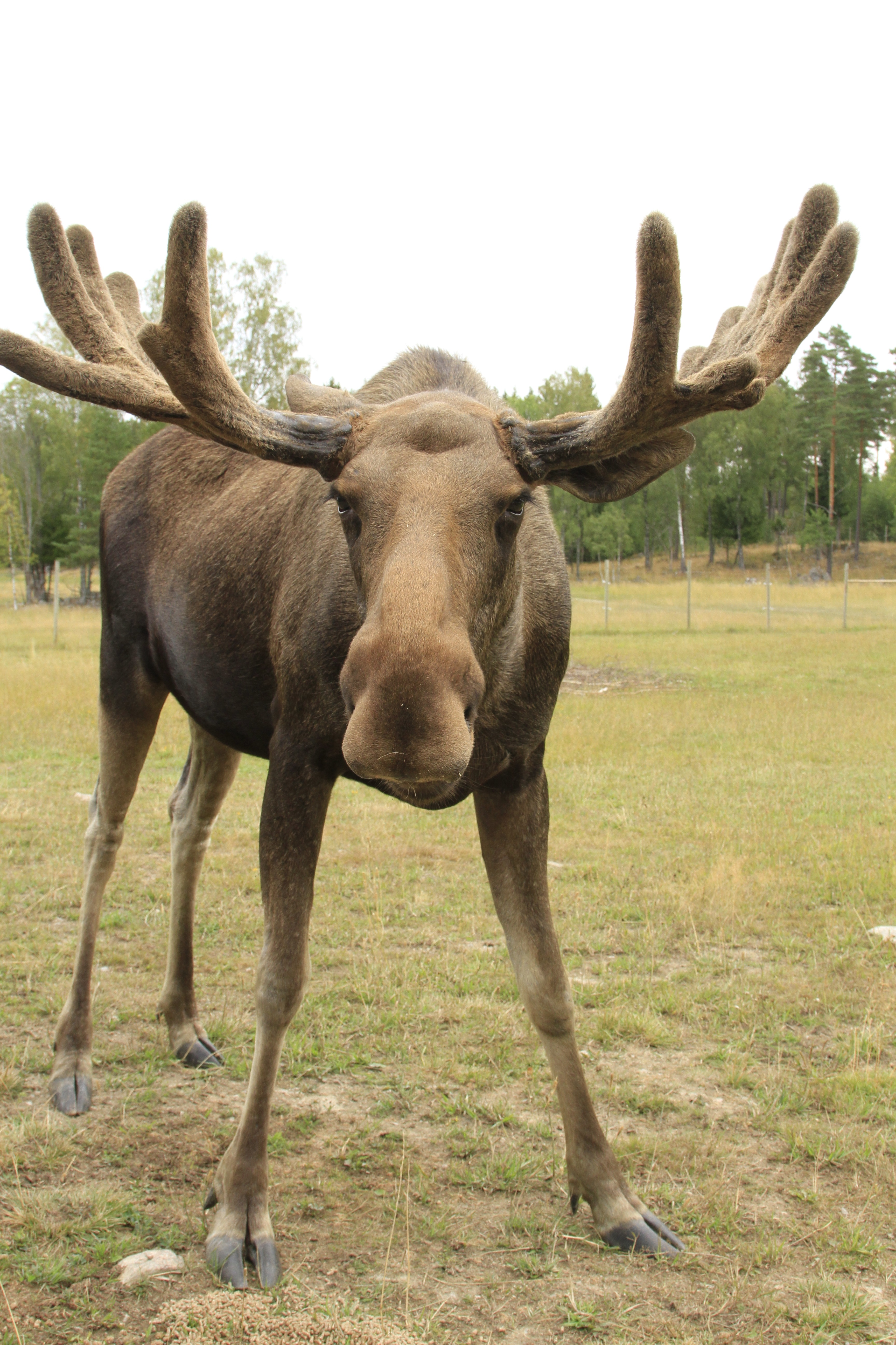 A closeup of a moose looking into the camera