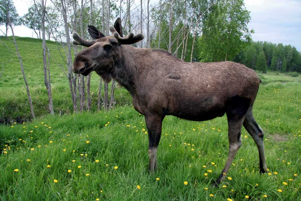 A moose standing in a field with dandelions